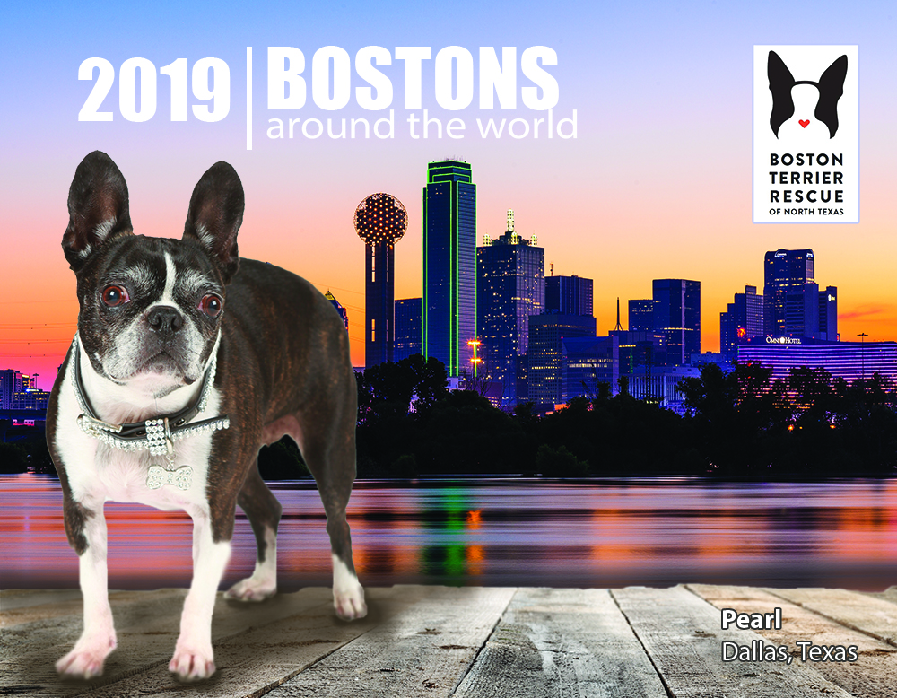 Welcome To Btrnt Boston Terrier Rescue Of North Texas