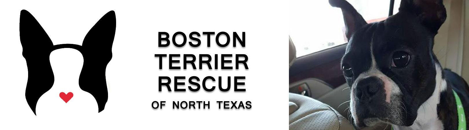 Available Dogs | Boston Terrier Rescue Of North Texas
